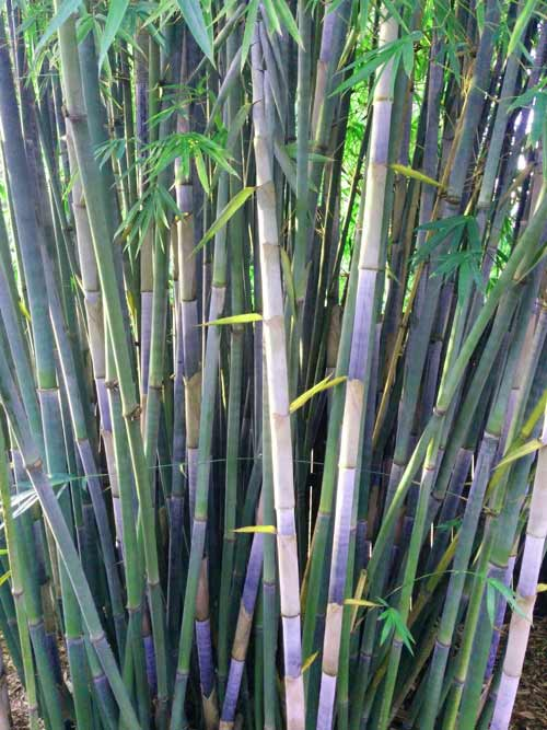 Tropical Blue Bamboo