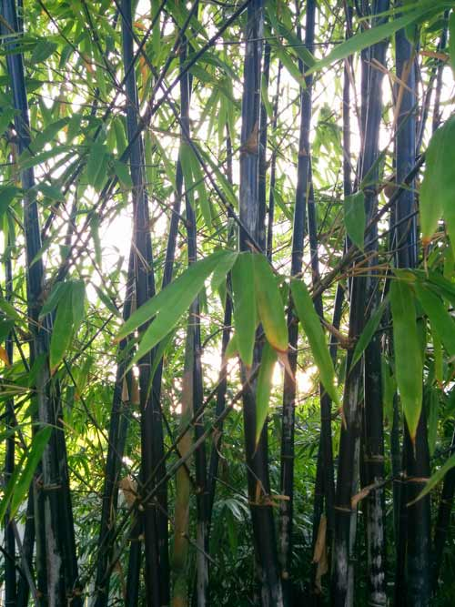 Timor Black Bamboo – 'Bambusa lako' for sale