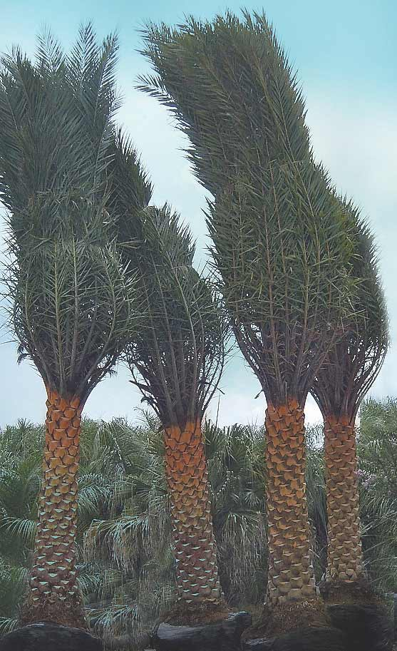 Phoenix Sylvester Palm For Sale