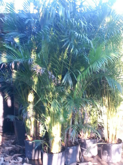 Areca Palms For Sale