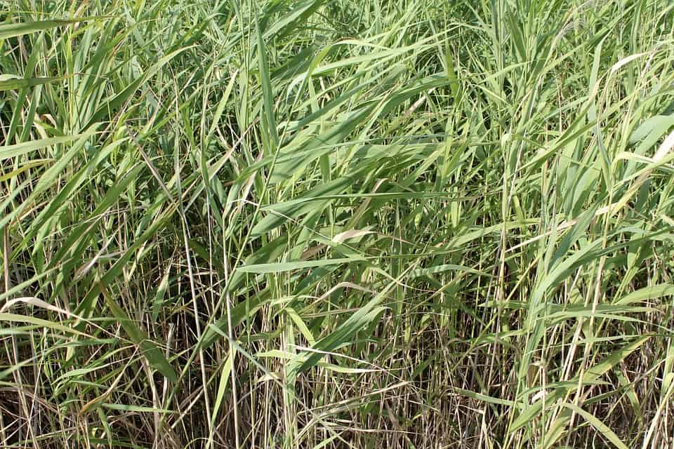 bamboo grass for sale