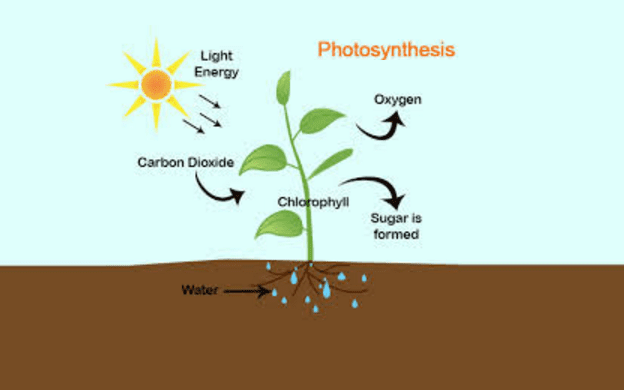bamboo photosynthesis