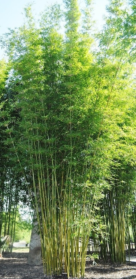 graceful bamboo for sale